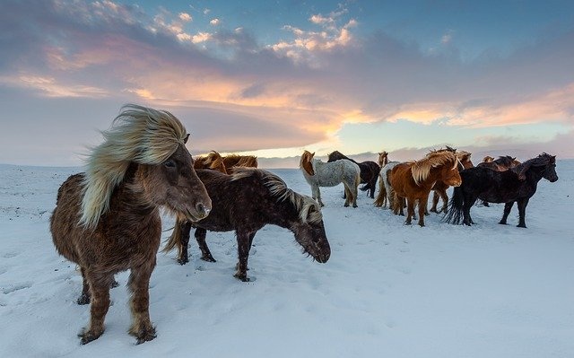 Cavalli d' Islanda
