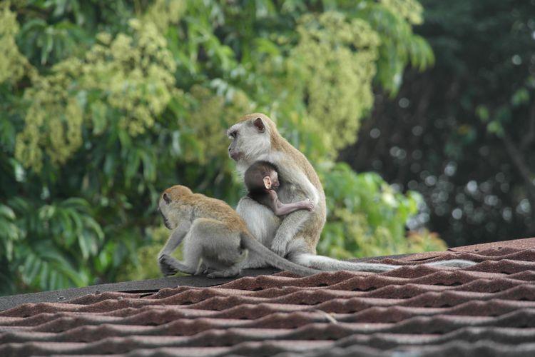 fauna malese