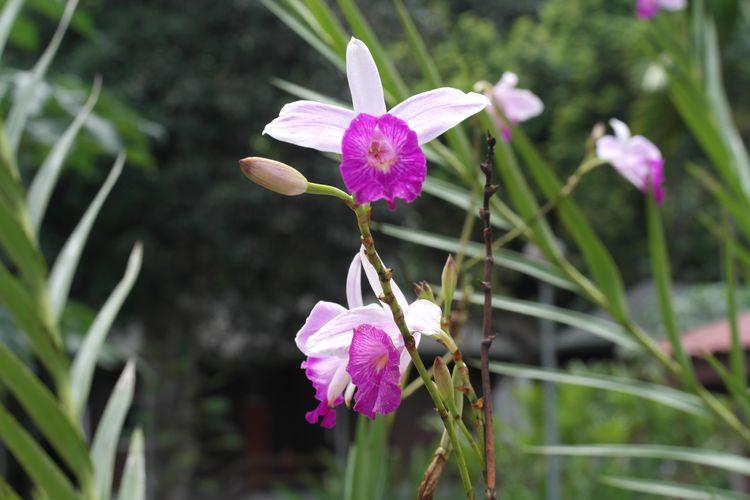 Orchidee al Kinabalu Park